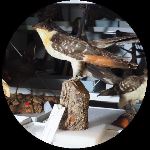 Ejemplar de ave disecada que forma parte de las colecciones del almacén del museo de ciencias naturales